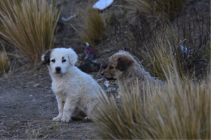 Wild dogs in Bolivia